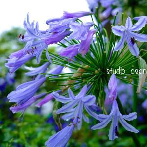 夏の花・紫君子蘭・・・