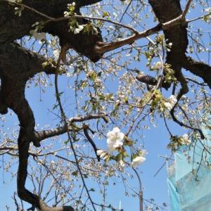 今年の桜を振り返る。桜散歩。