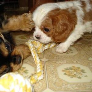 子犬は兄弟で遊びながら、覚えていきます♪