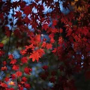 紅葉は紅葉と黄葉のどちらがお好きですか? 私は紅葉が大好きです。
