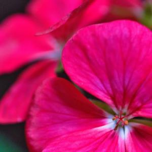 ゼラニウム? 長く咲く花はこの時期室内でゆるっと咲いていますよ
