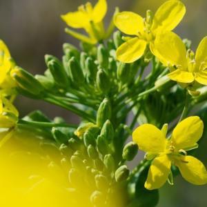 つかの間の晴れ間 菜の花