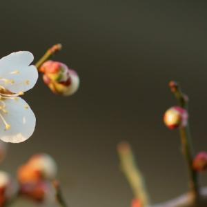 開き始めた梅の花