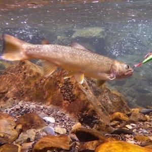 自作ミノーを咥えた魚の水中写真が撮りたいんじゃ
