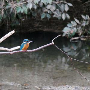 10月14日 佐鳴湖畔の野鳥 カワセミ他