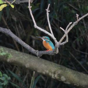 10月22日 佐鳴湖畔の野鳥 カワセミ