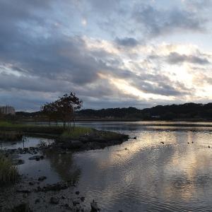 11月18日の佐鳴湖畔 イソシギがいました