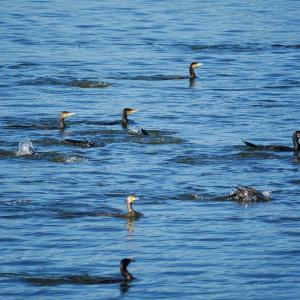 12月8日 佐鳴湖畔の野鳥 カワウ