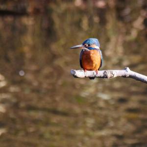 12月15日 佐鳴湖畔の野鳥 カワセミ