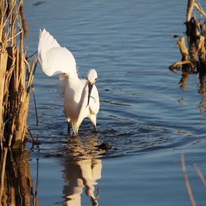 1月11日 佐鳴湖畔の野鳥 コサギとダイサギ