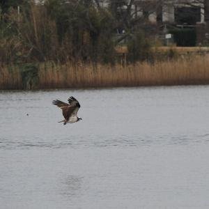 1月12日 佐鳴湖畔の野鳥 ミサゴのハンティング