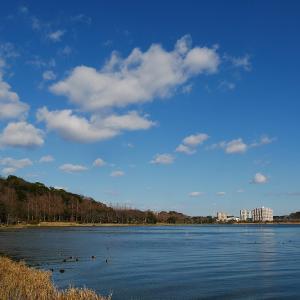 1月13日の佐鳴湖畔 ユリカモメがいました