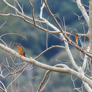 1月18日 佐鳴湖畔の野鳥 カワセミ