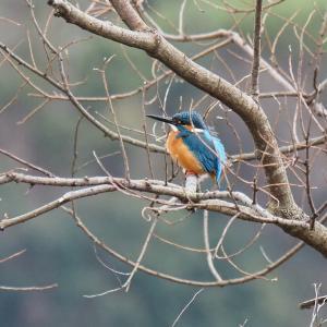 1月25日の佐鳴湖畔 週末も鳥影薄く