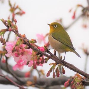 佐鳴湖畔の野鳥 河津桜とメジロ