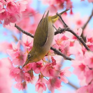 3月25日 佐鳴湖畔の野鳥 メジロとヒヨドリ