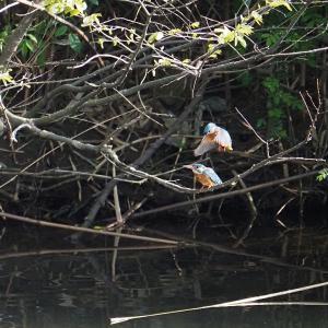4月4日 佐鳴湖畔の野鳥 カワセミの交尾が見られました
