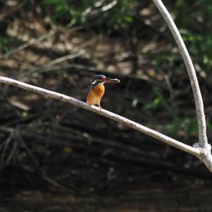 5月8日 佐鳴湖畔の野鳥 カワセミ