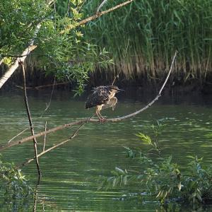 5月29日の佐鳴湖畔 ホシゴイがいました