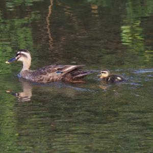 6月5日の佐鳴湖畔 子ガモ1羽のカルガモ親子がいました