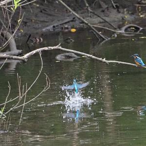 6月6日の佐鳴湖畔 新川河口のカワセミ