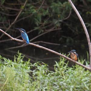 6月17日の佐鳴湖畔 子ガモ1羽のカルガモ親子を見かけました
