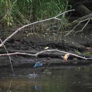 佐鳴湖畔の野鳥 カワセミ危機一髪