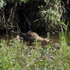 6月21日の佐鳴湖畔 子ガモ1羽のカルガモ親子がいました