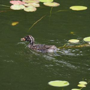 浜名湖ガーデンパーク カイツブリの給餌