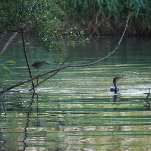 7月2日の佐鳴湖畔 ササゴイ再び