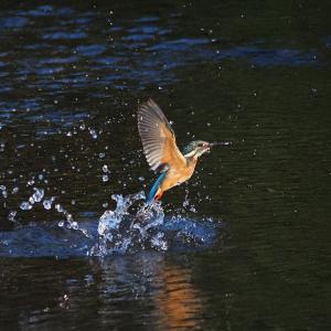 8月12日 佐鳴湖畔の野鳥 カワセミ