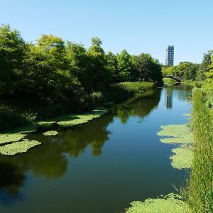 浜名湖ガーデンパーク カイツブリの2番子登場