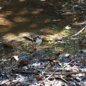 佐鳴湖畔の野鳥 エナガの水浴び