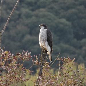 10月27日の佐鳴湖畔 オオタカがいました