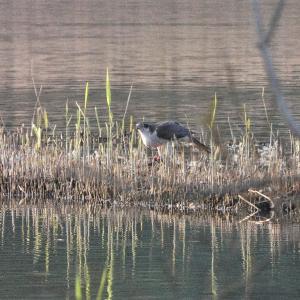 10月30日の佐鳴湖畔 オオタカがオオバンを捕食