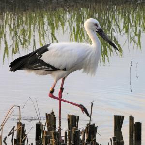 11月19日の佐鳴湖畔 コウノトリがいました