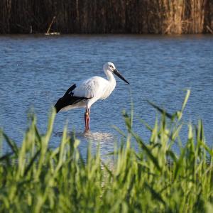 11月21日の佐鳴湖畔 今日もコウノトリがいました