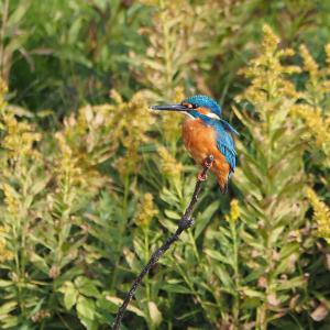 佐鳴湖畔の野鳥 カワセミ