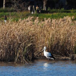 11月23日の佐鳴湖畔 サギ島のコウノトリ