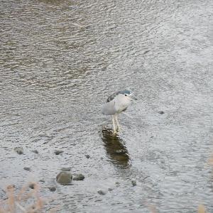1月19日の佐鳴湖畔 ゴイサギがいました