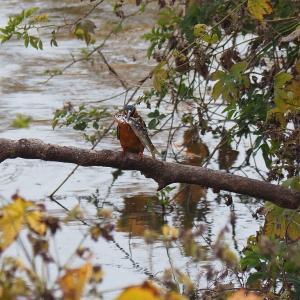 佐鳴湖畔の野鳥 大物をゲットしたカワセミ