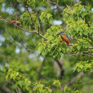 5月15日の佐鳴湖畔 樹上にルアーと釣り糸が