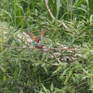 6月13日の佐鳴湖畔 カワセミの交尾が見られました