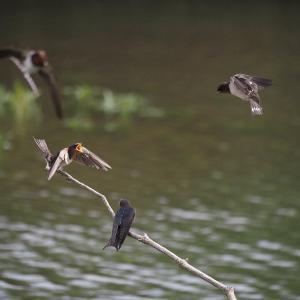 6月20日の佐鳴湖畔 ツバメの3兄弟育つ