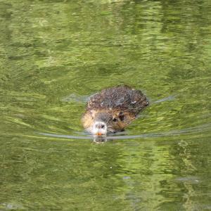 6月22日の佐鳴湖畔 ヌートリアがいました