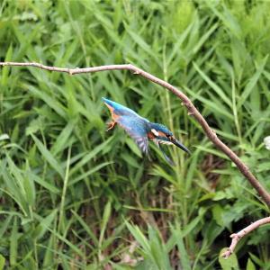 9月11日の佐鳴湖畔 葦刈りはじまる