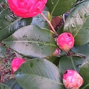 椿が雨に濡れながら咲き始めましたぞ。