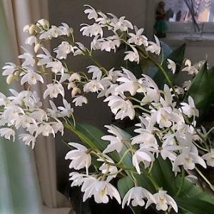 今年もデンドロビューム・キンギアナム(系)が元気に咲いてくれました。