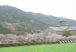 雨の中、近江八幡近郊近在ピンク色に染まってきましたよ。