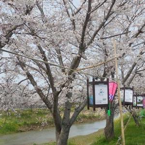 近江八幡・桜花探訪